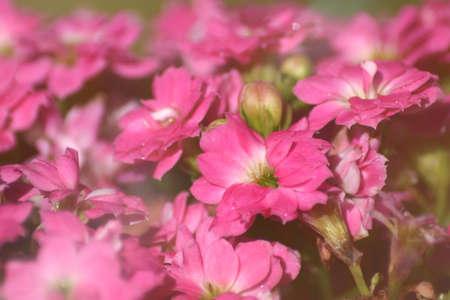 Kalanchoe blossfeldiana pink flowers.