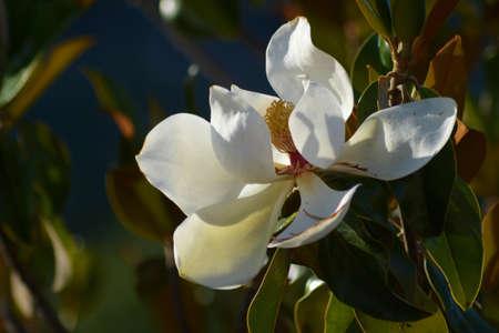Beautiful white magnolia flower Archivio Fotografico - 159235998