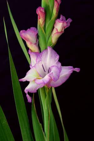 pink gladiolus on black background