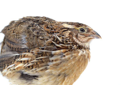 Profile of a quail isolated on white background