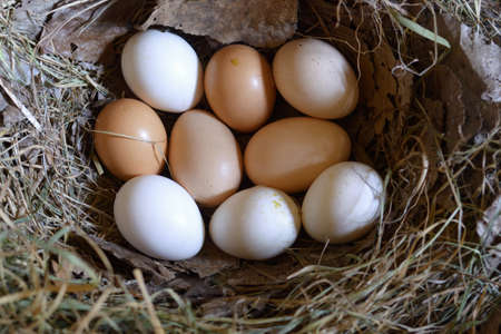 Chicken eggs in the nest.Farmer's chicken eggs on hay in the nest. Archivio Fotografico