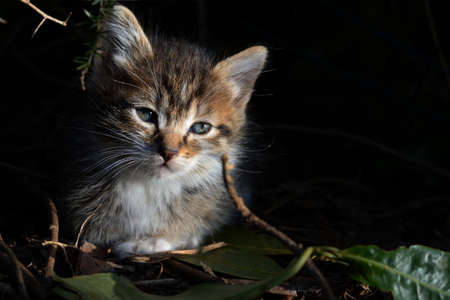 Little tabby kitten. Little tabby kitten with blue eyes looking curiously.Adorable little pet. Cute baby animal. Archivio Fotografico - 159361055