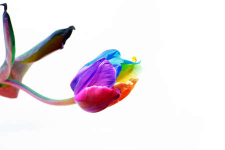 Rainbow tulip isolated on white background.Rainbow spring flower tulip.Dutch tulip and rainbow symbol of pride.Spring colorful floral background.