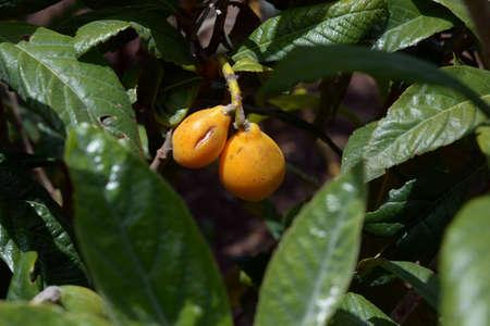 Medlar of Japan.Japanese medlar shrub with ripe fruit.
