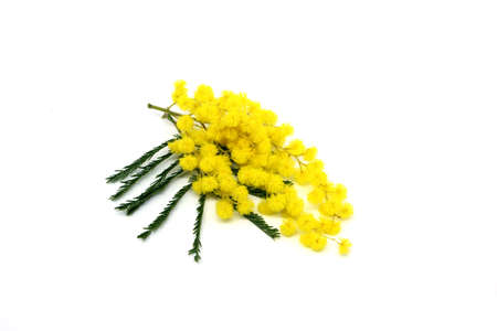 Mimosa flower.Spring background with spring mimosa flowers.Mimosa spring flowers on the white background.Spring background. Archivio Fotografico - 159361078