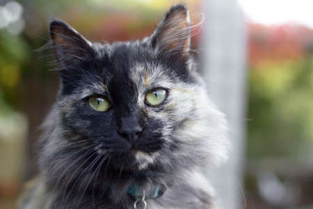 long-haired domestic cat.tortoiseshell color long-haired domestic cat