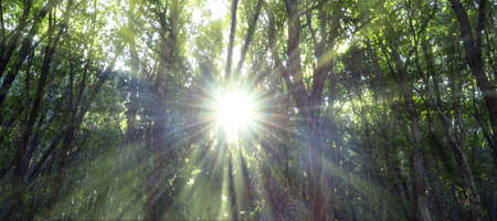 Oak forest illuminated by the rays of the sun through the fog. Sunbeams passing through dense vegetation in the woods