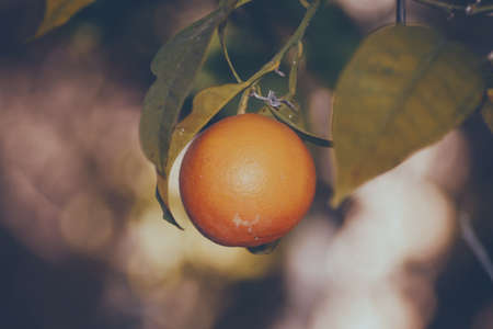 Fresh orange hanging on the branch of the tree with leaves.