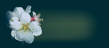 almond blossom.Cherry Blossom. Archivio Fotografico