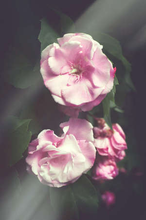 floribunda oleander flowers, postcard or cover.pink oleander flowers and burgundy buds