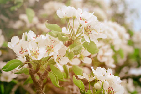 White spring pear blossoms.Fresh spring background on outdoor nature.Beautiful white spring flowers blossom pear tree. Stok Fotoğraf - 160745553