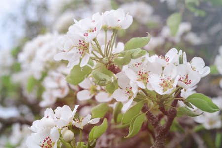 White spring pear blossoms.Fresh spring background on outdoor nature.Beautiful white spring flowers blossom pear tree.