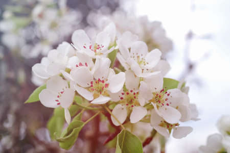 White spring pear blossoms.Fresh spring background on outdoor nature.Beautiful white spring flowers blossom pear tree. Stok Fotoğraf - 160745555