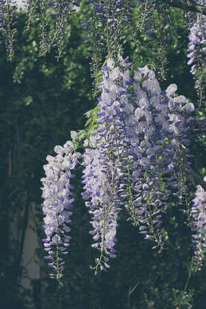 chinese wisteria.Wisteria, wonderful addition to any garden.High-growing, fast-growing vine with purple and blue flowers.