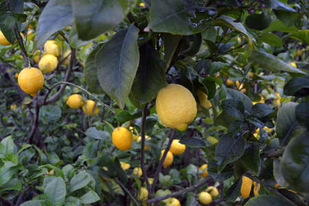 Lemons hanging on the tree branch