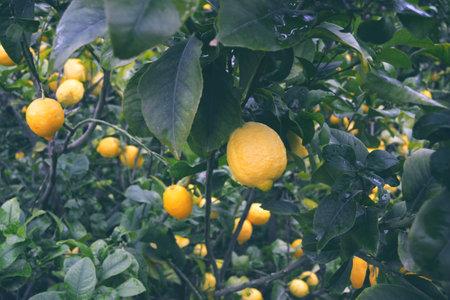 Lemons hanging on the tree branch