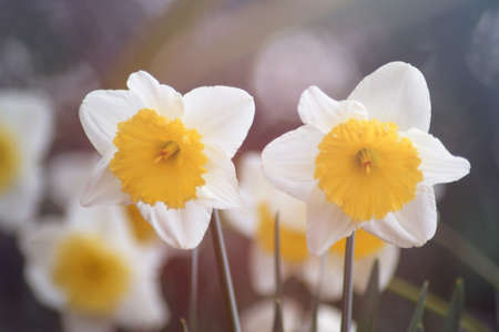 Narcissus, flower with five white petals and a bell in the center Stok Fotoğraf - 161102328