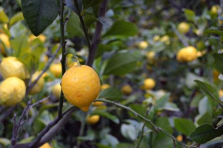 Lemons hanging on the tree branch Stok Fotoğraf - 161102332