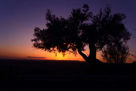 silhouette of an olive tree at sunset
