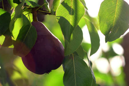 Red Williams Pear Tree.