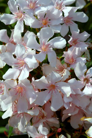 Texture of white oleander flowers Stok Fotoğraf - 166450099