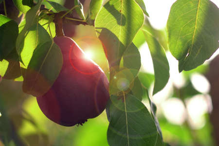 Red Williams Pear Tree. Stok Fotoğraf - 166450113