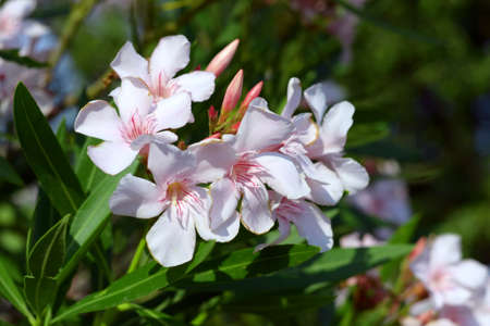 Oleander with white flowers in bloom, green leaves Archivio Fotografico