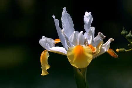 Iris Hollandica flowers with white petals.