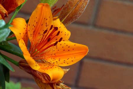 Tiger lily. Orange lily.
