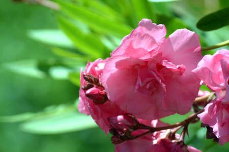Pink oleander. Pink oleander on a bokeh background. Archivio Fotografico