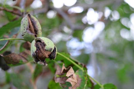 Ripe walnut on the tree. Green walnut on a tree in the garden - autumn background.