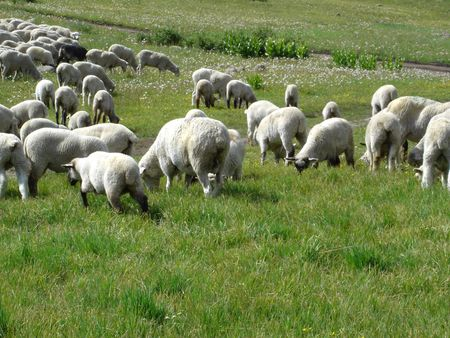 sheep grazing on the hilly meadow                             photo