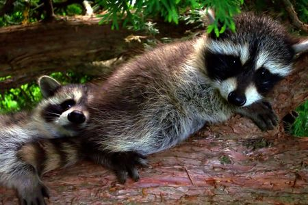 baby raccoons on the branch