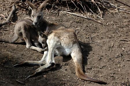 kangaroo mother: kangaroo mother with a baby