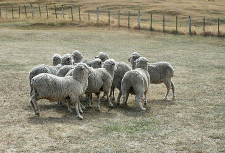 cluster of sheep on dried up pasture Imagens