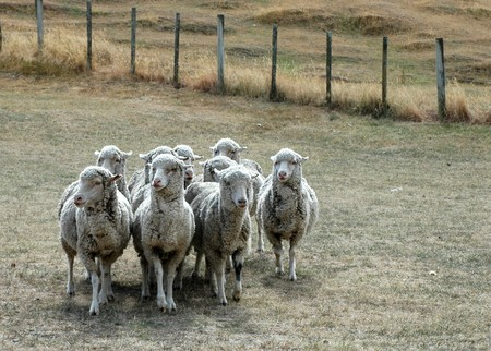 group of sheep standing close together