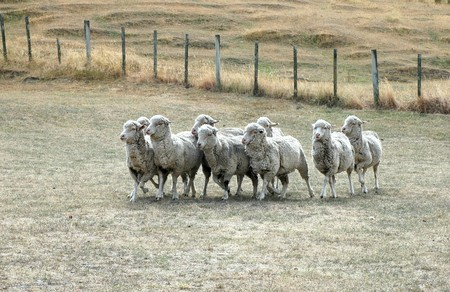 heard of sheep running on dried out meadow