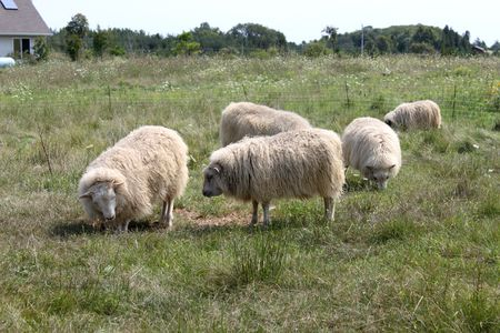 Sheep grazing on the meadow close to the farm house; one is kneeling