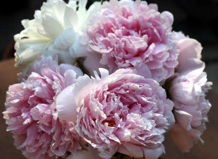 bunch of pink peonies-closeup