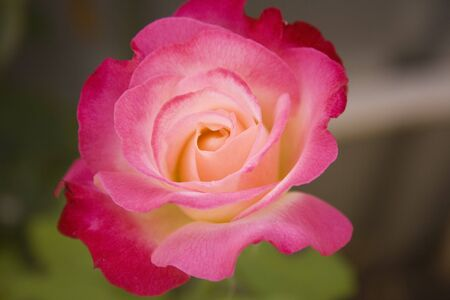 roze: pink roze with yellow in the midle Stock Photo