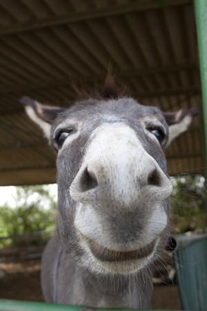 mula: un burro sonriente cara closeup en un granero
