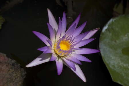 one purple lily with yellow in the midle on dark almost black background Stock Photo - 9313000