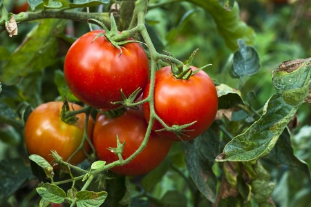 red organic tomato plant and fruit in the morning light Stock Photo