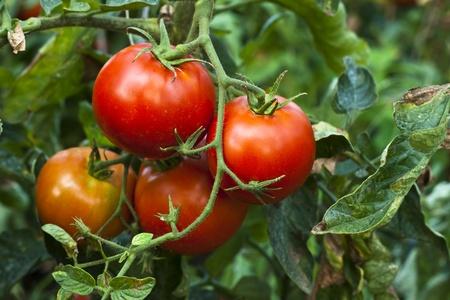 rode organische tomatenplant en fruit in de ochtend licht