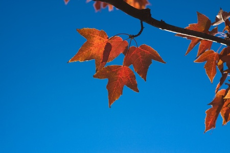 rusty color autumn lefes with blue sky in the background Stock Photo - 9313510