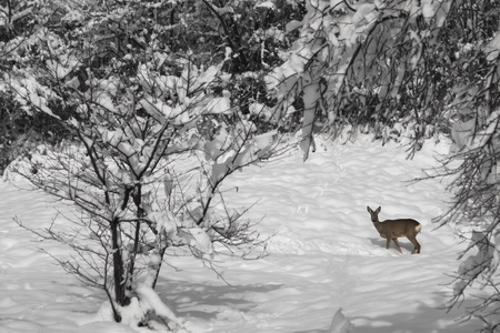 single small deer in a snow covered forest photo