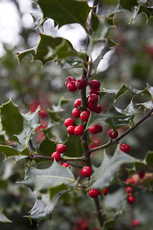 hollyberry: evergreen with red holy berryes on branch in nature