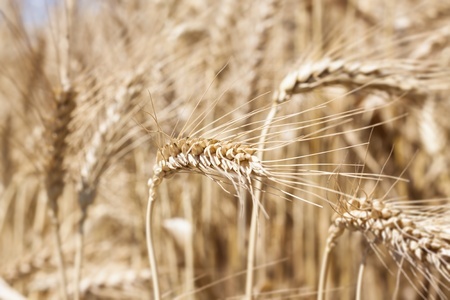feld: yellow wheat closeup in a feld with blured wheats in the background Stock Photo