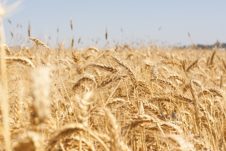 Wheat field with strong yellow colors   photo