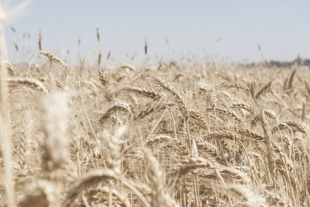 Wheat field with light colors  Stock Photo - 13943487